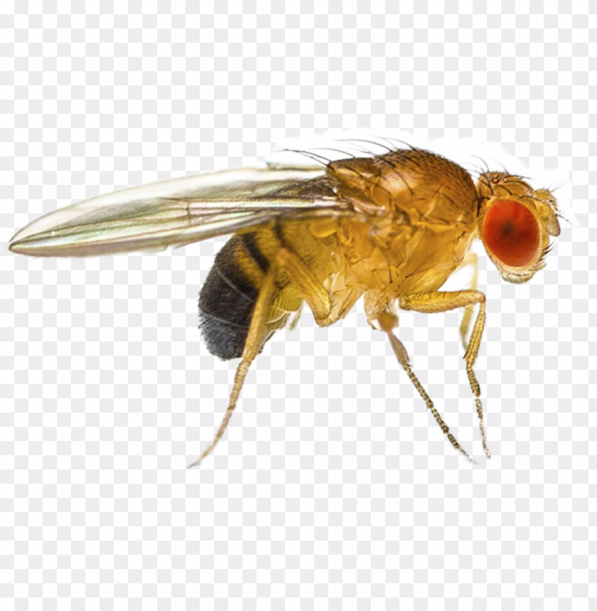 fruit fly png - que es drosophila melanogaster PNG image with transparent background@toppng.com