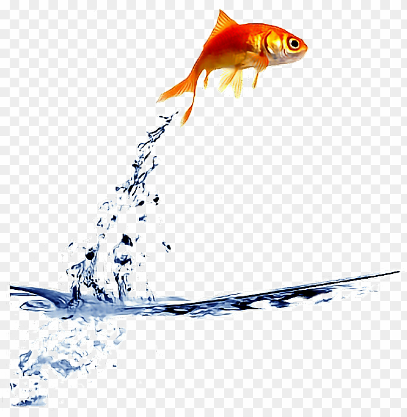Ftestickers Goldfish Jump Fishstickers Fish Jumping Out Of Bowl Gif Png Image With Transparent Background Toppng