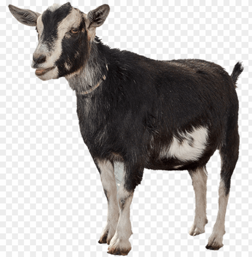 free PNG funny goat png clipart freeuse library - goat PNG image with transparent background PNG images transparent