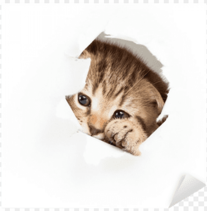 free PNG funny kitten looking out hole in torn paper sticker - cat PNG image with transparent background PNG images transparent