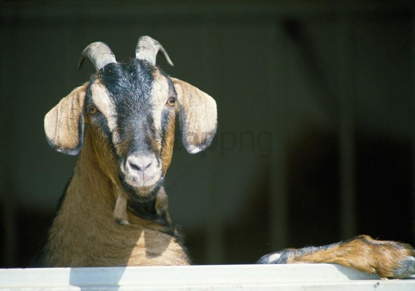 free PNG goat, hooves, horns wallpaper background best stock photos PNG images transparent