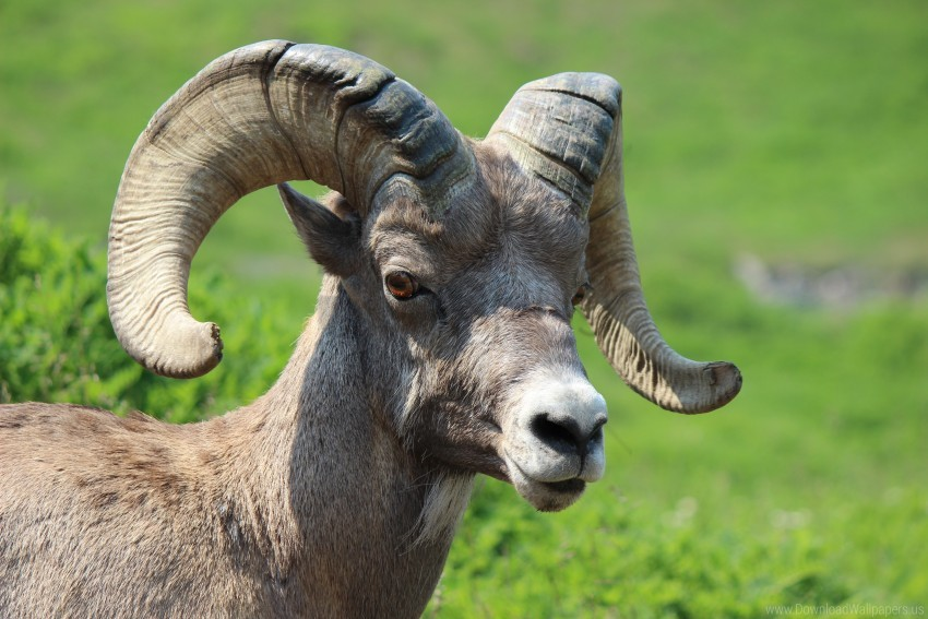 free PNG goat, horns, muzzle wallpaper background best stock photos PNG images transparent