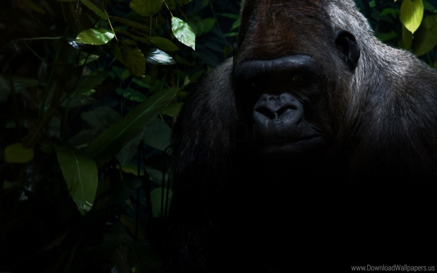 The Gorilla Face Fortnite Gorilla Shadow Sit Wallpaper Background Best Stock Photos Toppng