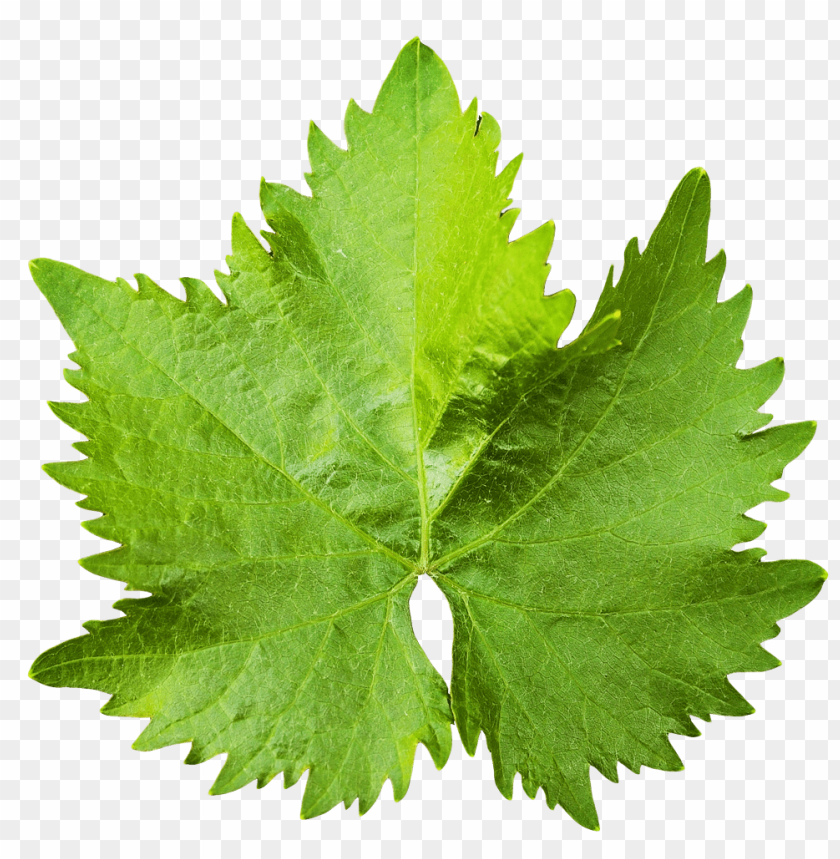 free PNG Download grape vine leaf png images background PNG images transparent