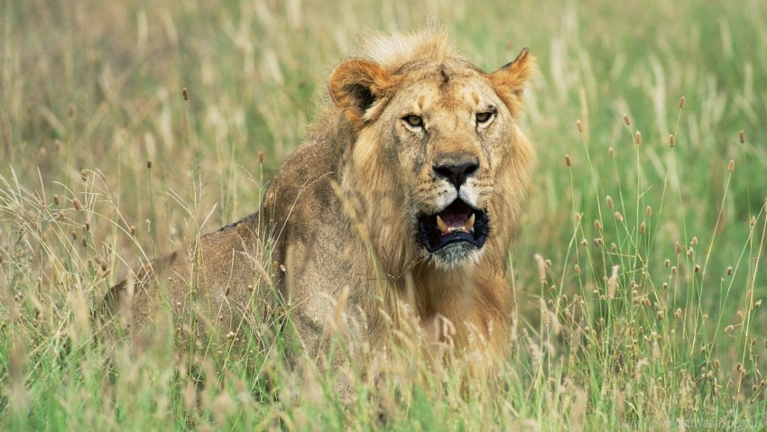 free PNG grass, hide, hunting, lion wallpaper background best stock photos PNG images transparent