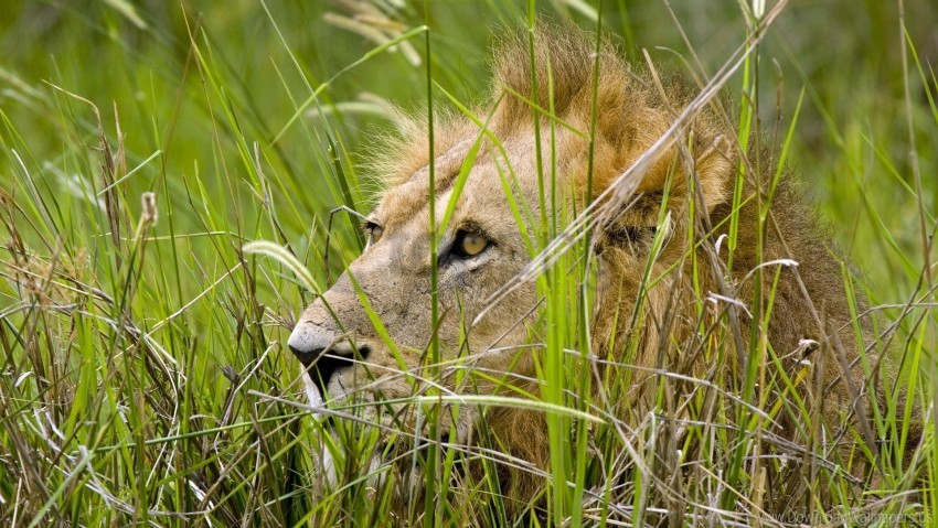 free PNG grass, hide, lion, predator, sit wallpaper background best stock photos PNG images transparent