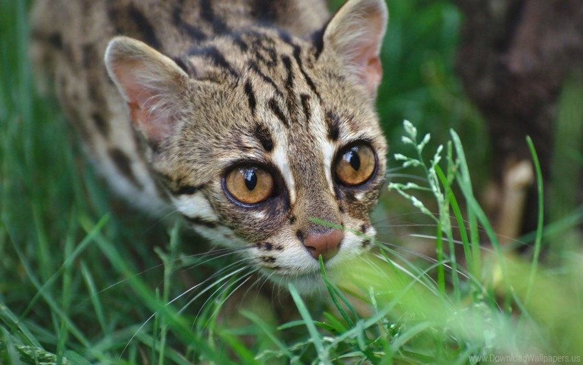 free PNG grass, leopard, muzzle, ocelot, wild cat wallpaper background best stock photos PNG images transparent