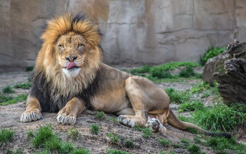 free PNG grass, licking, lie down, lion, predator wallpaper background best stock photos PNG images transparent
