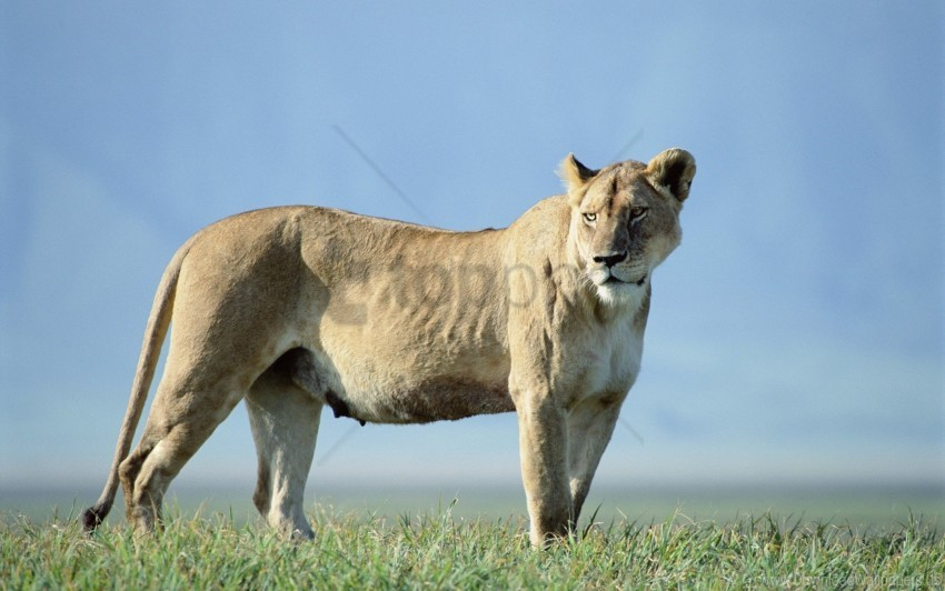free PNG grass, lion, sky, stand wallpaper background best stock photos PNG images transparent