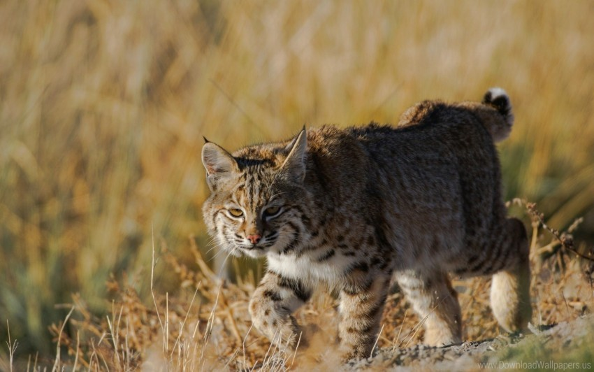 free PNG grass, lynx, predator, wild cat wallpaper background best stock photos PNG images transparent