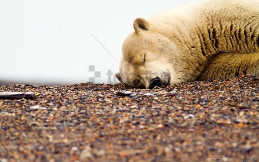 free PNG gravel, muzzle, polar bear, rocks, sleeping wallpaper background best stock photos PNG images transparent