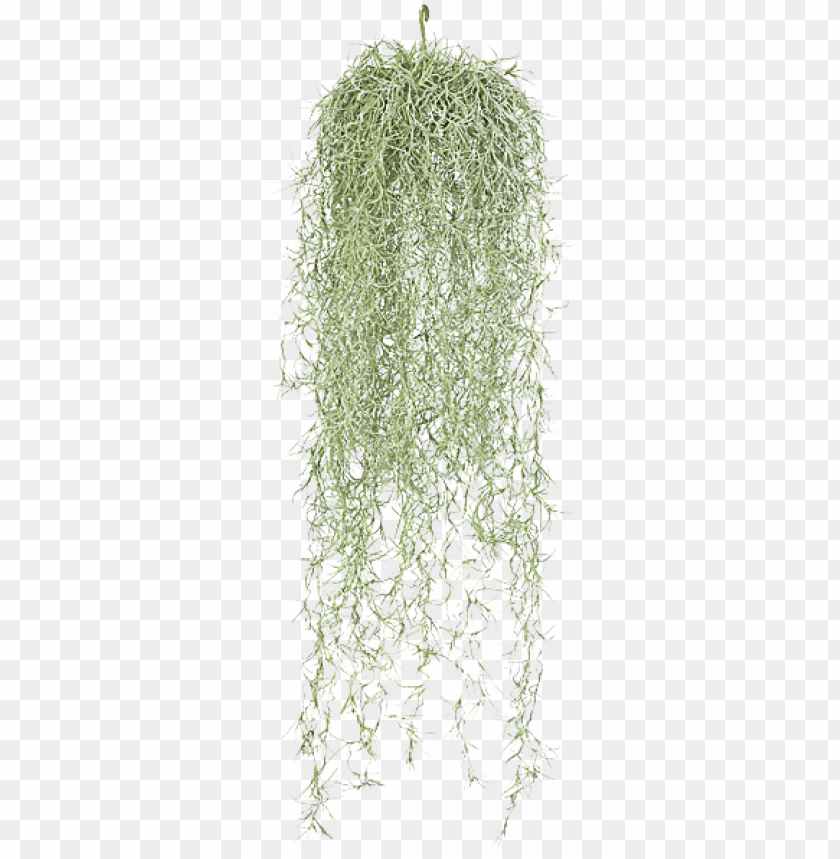 free PNG hanging moss png - hanging spanish moss PNG image with transparent background PNG images transparent