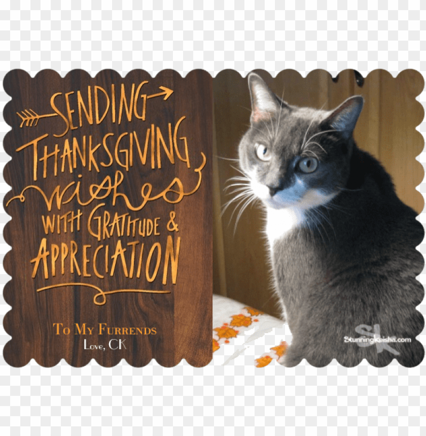 free PNG happy turkey day - domestic short-haired cat PNG image with transparent background PNG images transparent