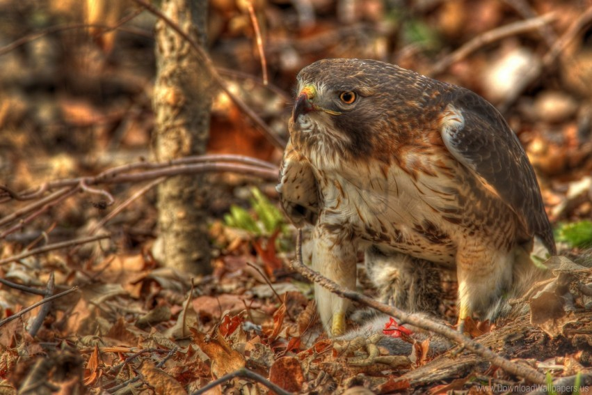 free PNG hawk, hdr, leaves, predator, red-tailed hawk wallpaper background best stock photos PNG images transparent