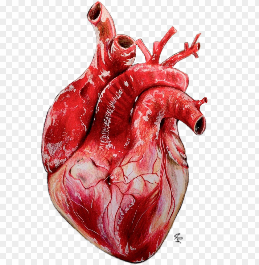 free PNG #heart #realistic - drawing realistic heart PNG image with transparent background PNG images transparent