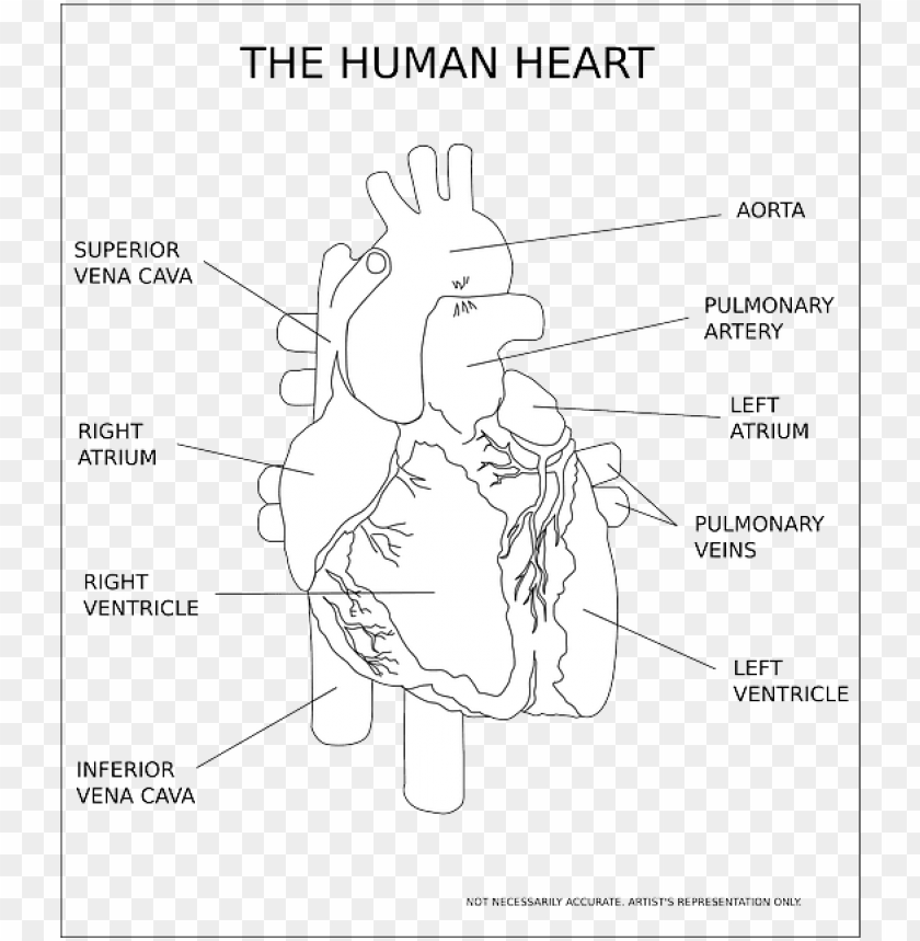 free PNG heart, ventricle, organ, human, anatomy, medical - human heart black and white PNG image with transparent background PNG images transparent