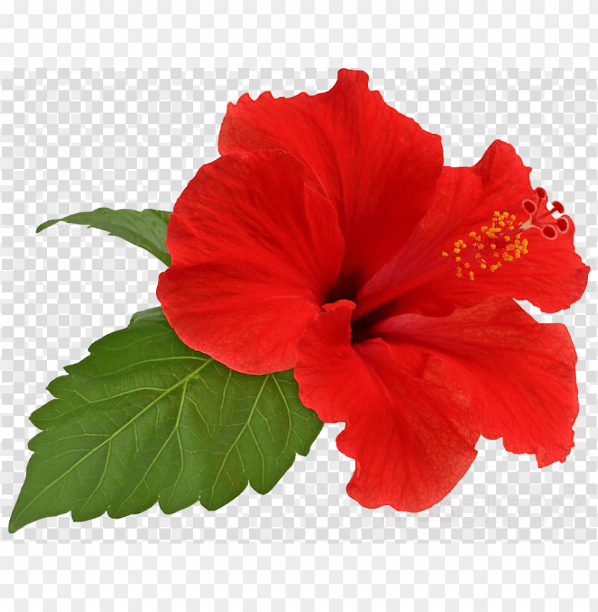 free PNG hibiscus flower png clipart shoeblackplant flower hibiscus - hibiscus flower PNG image with transparent background PNG images transparent