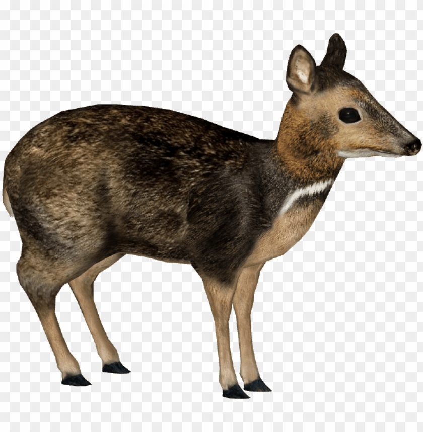 free PNG hilippine mouse-deer - philippine mouse deer PNG image with transparent background PNG images transparent