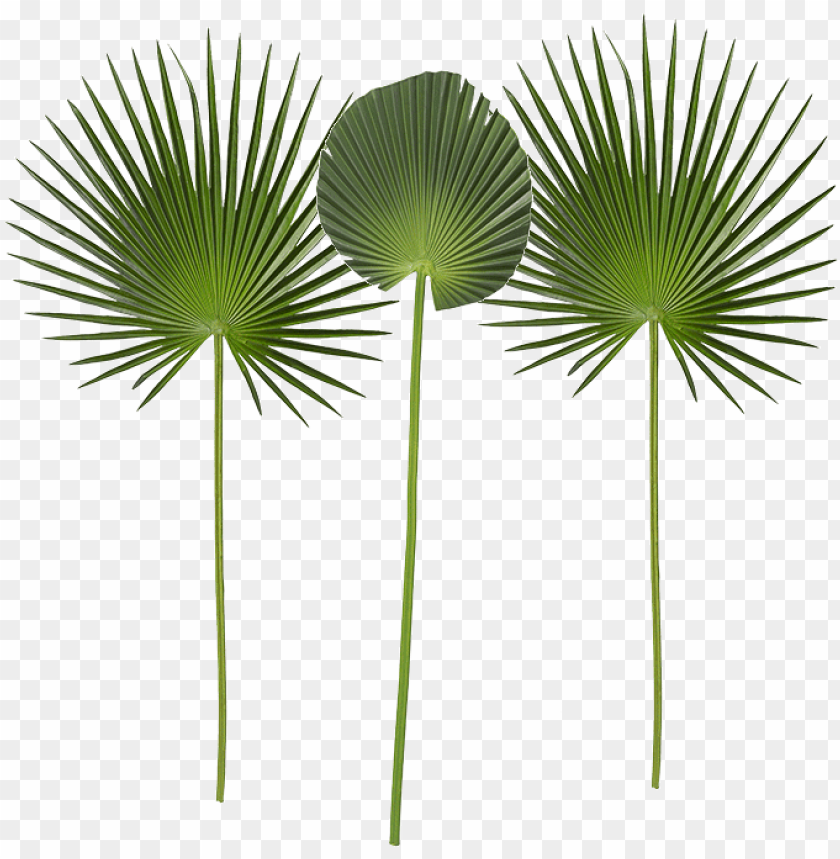 hoja de palmera alt 100 cm verde, lote de PNG image with transparent background@toppng.com