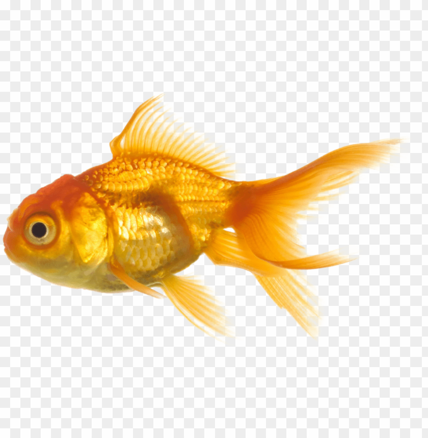 free PNG hoto fish png1157 zps5b5d563f - big fish and little fish PNG image with transparent background PNG images transparent