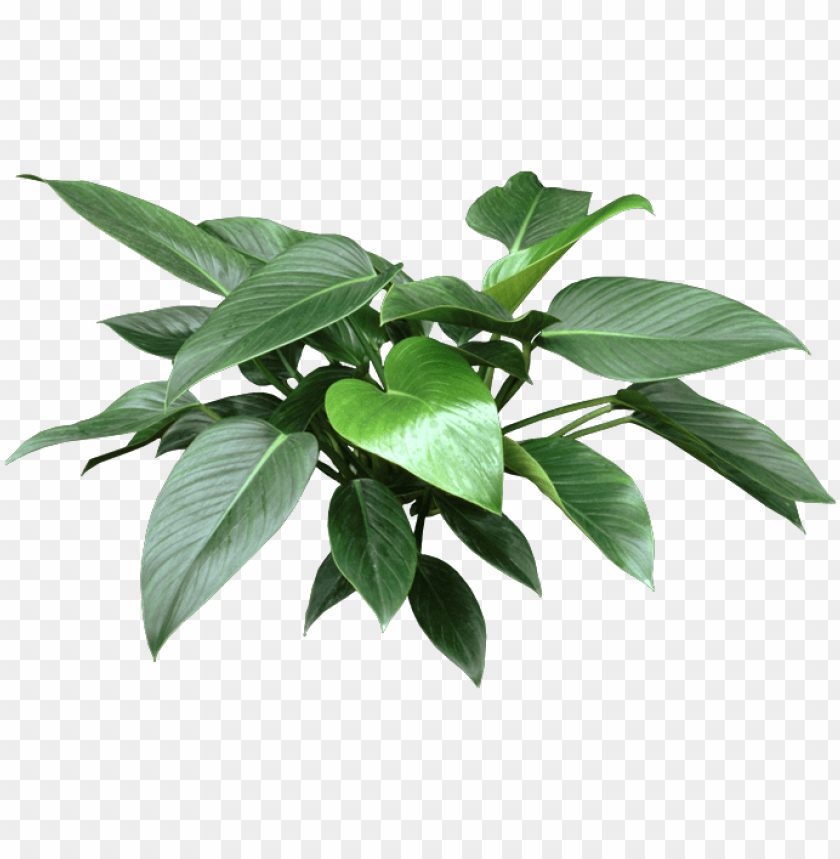 free PNG http - //www - houseplant411 - com/wp-content/uploads/ - house plant leaf PNG image with transparent background PNG images transparent