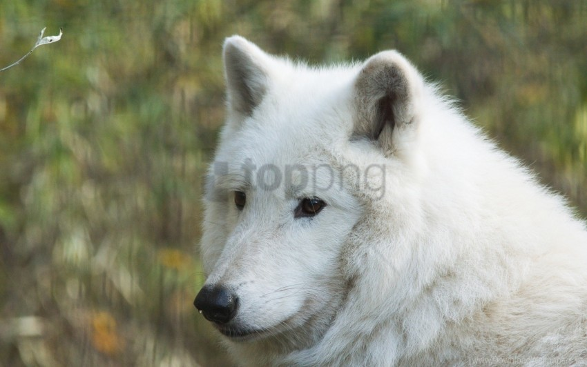 free PNG hudson wolf, muzzle, predator, wolf wallpaper background best stock photos PNG images transparent