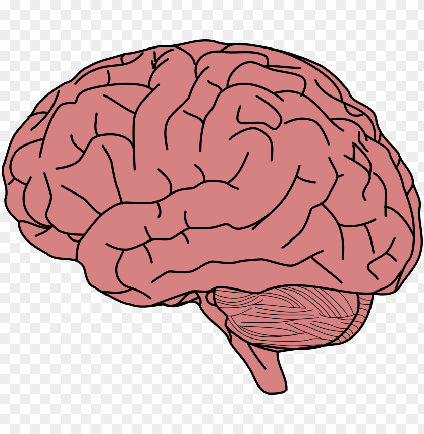 free PNG human brain drawing brain facts brain damage - brain clipart PNG image with transparent background PNG images transparent