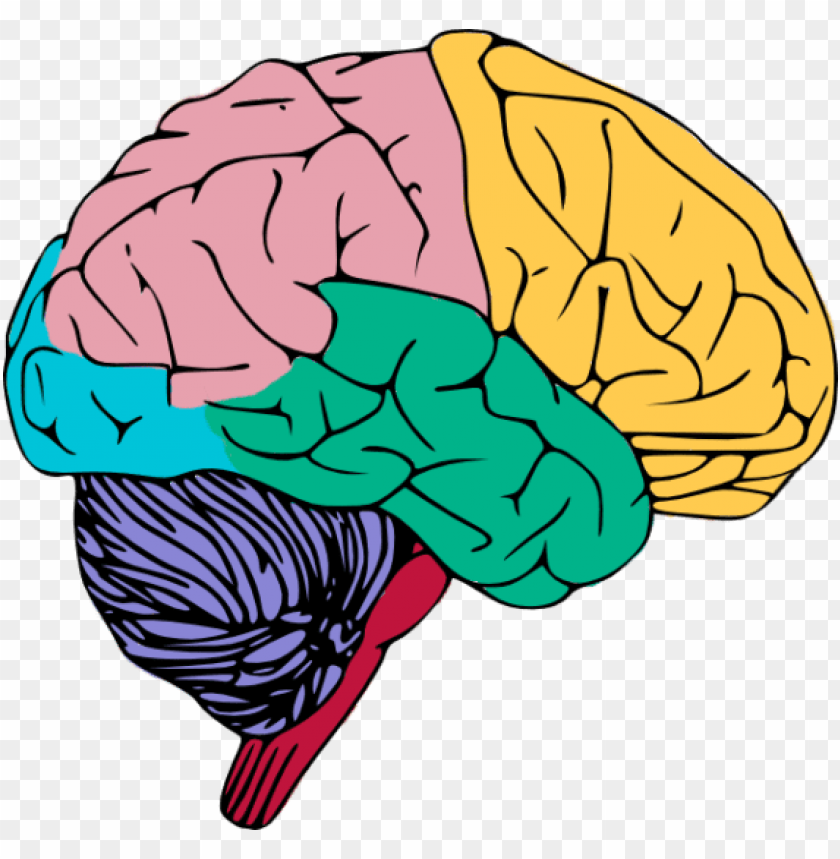 free PNG human brain png high-quality image - brain clipart PNG image with transparent background PNG images transparent