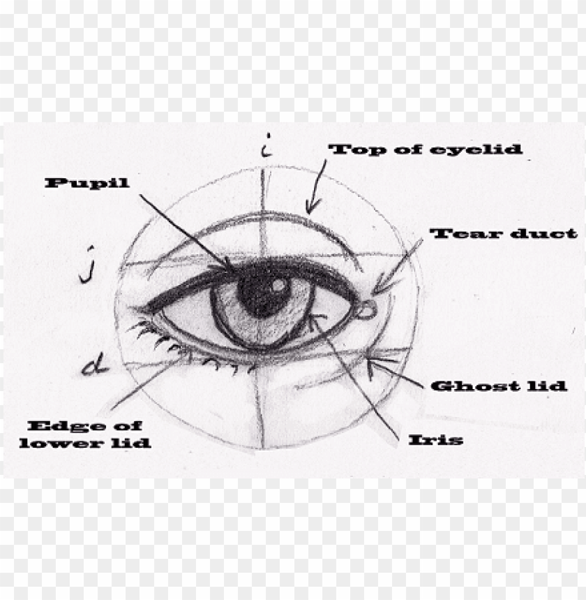 free PNG human eye proportions PNG image with transparent background PNG images transparent