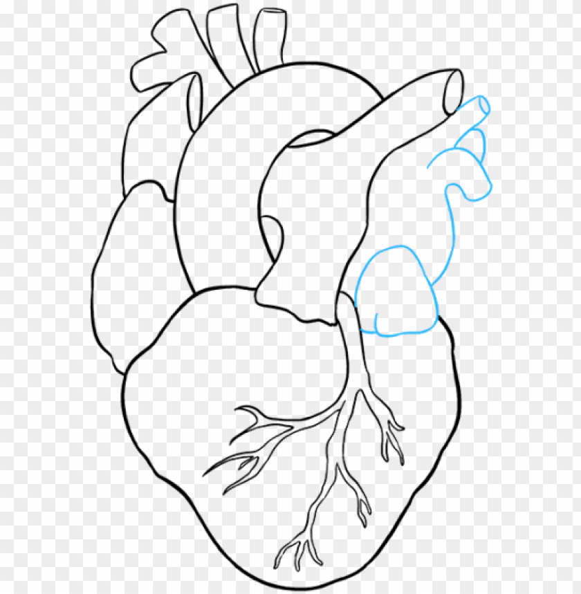 free PNG human heart to draw PNG image with transparent background PNG images transparent