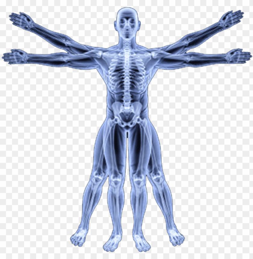 free PNG human skeleton png - human body biomechanics PNG image with transparent background PNG images transparent