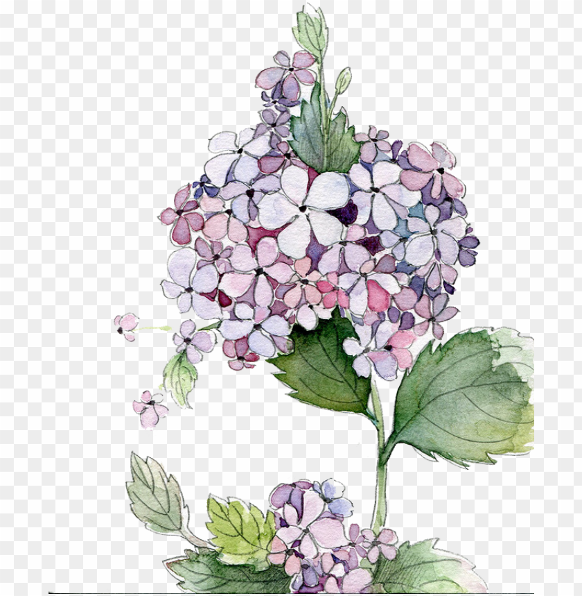 free PNG icture royalty free stock painting flower flowers - hydrangea watercolor PNG image with transparent background PNG images transparent