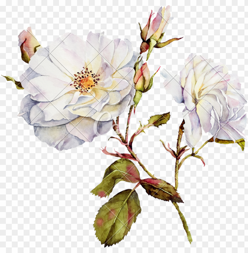 free PNG image drawing watercolor vector freeuse download - watercolor rose png white PNG image with transparent background PNG images transparent