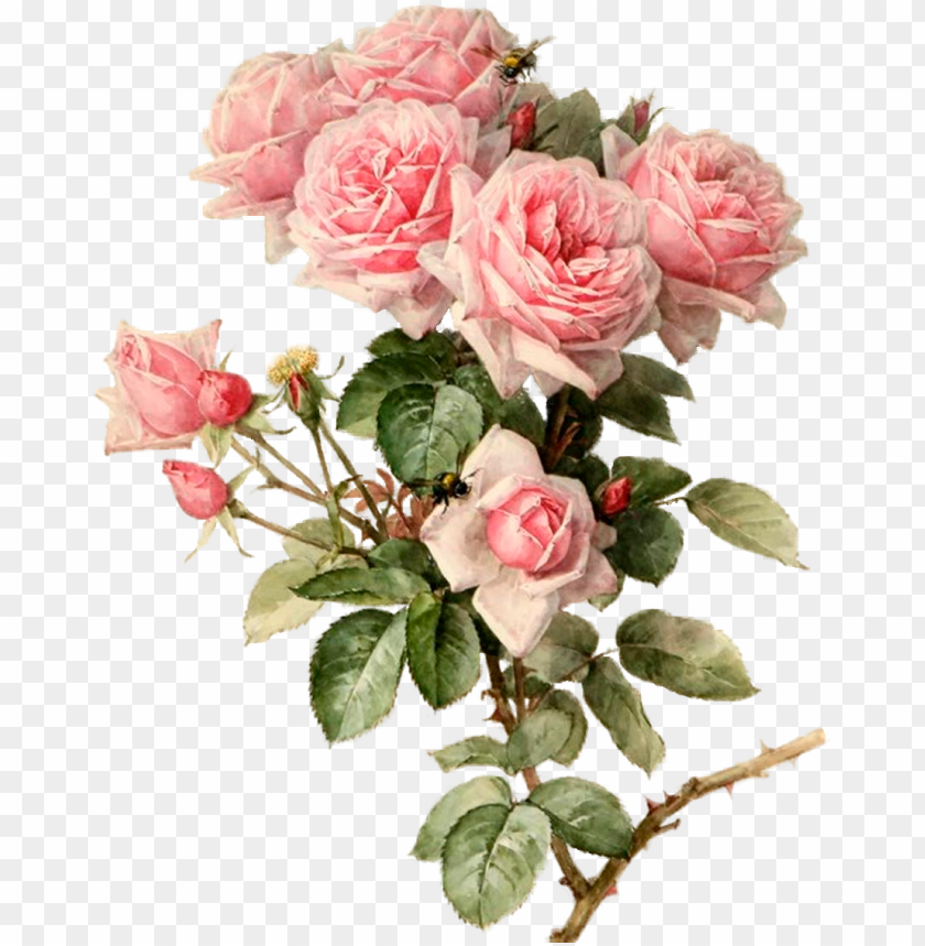 free PNG ink roses botanical flowers, botanical art, pink roses, - rose bouquet painti PNG image with transparent background PNG images transparent
