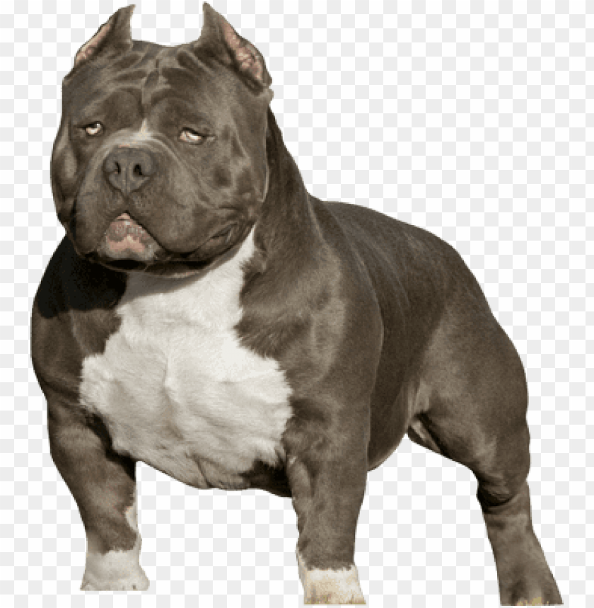 free PNG itbull silhouette png american bully psd detail - american bully 818 concepts PNG image with transparent background PNG images transparent