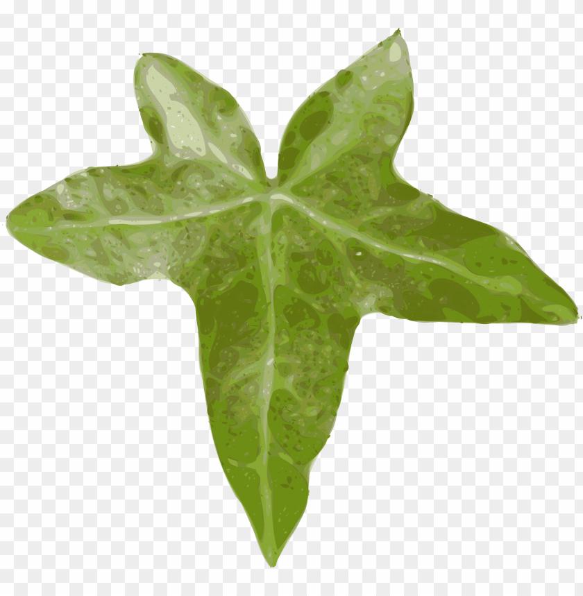 free PNG ivy hedera ivy leaf leaf creeper evergreen - leaf clip art PNG image with transparent background PNG images transparent