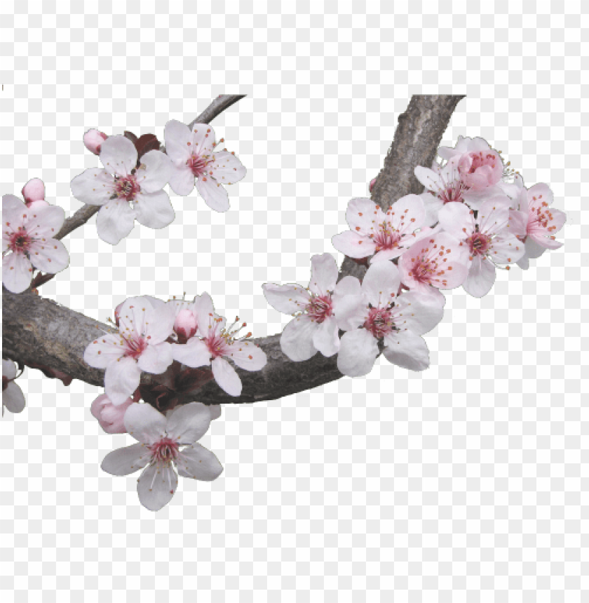 free PNG japanese cherry blossom tree - japanese cherry blossom transparent PNG image with transparent background PNG images transparent