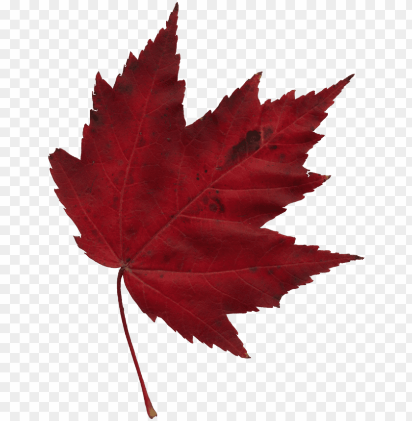 Japanese Transparent Maple Leaf Clip Art Royalty Free Red Maple Leaf Png Image With Transparent Background Toppng