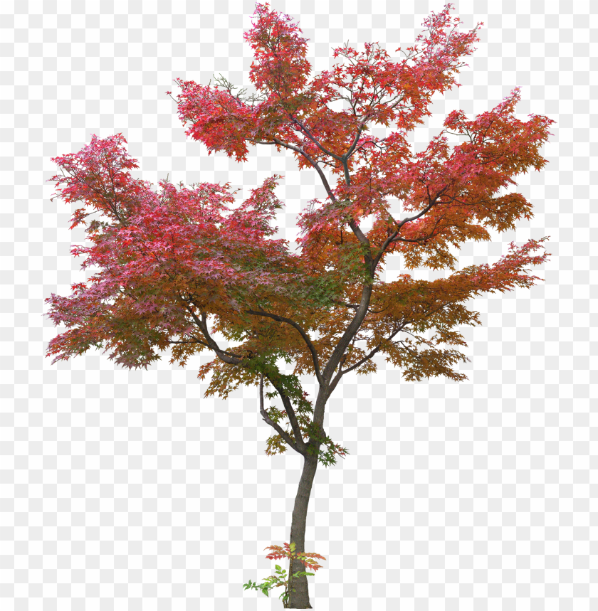 free PNG japanese tree leaf plant - red maple tree PNG image with transparent background PNG images transparent