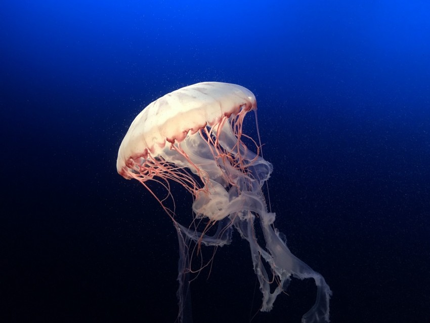 free PNG jellyfish, underwater world, ocean, aquarium, swimming, blue, water background PNG images transparent