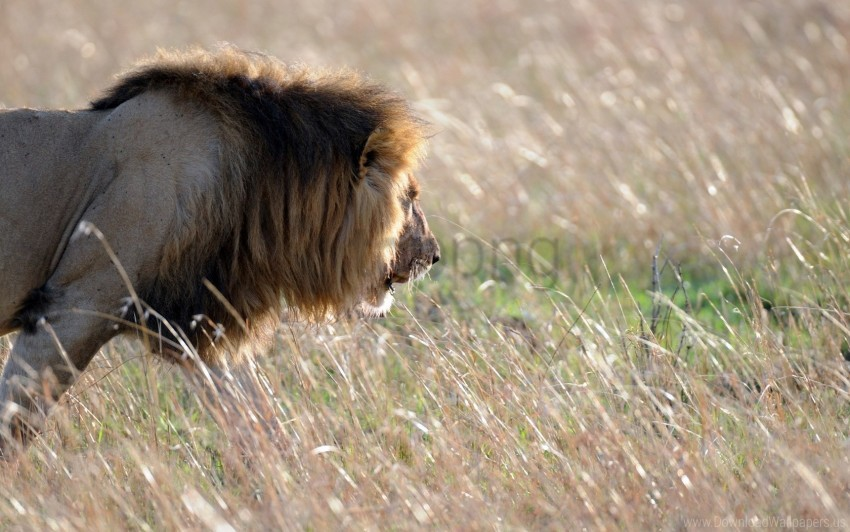 free PNG king of beasts, lion, look wallpaper background best stock photos PNG images transparent