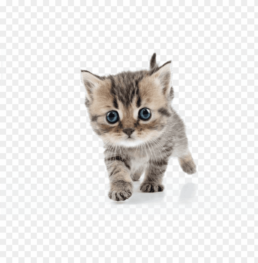 free PNG kitten png transparent png transparent stock - kitten png transparent PNG image with transparent background PNG images transparent