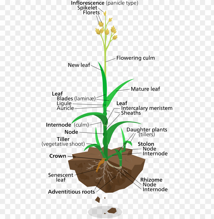 free PNG labelled diagram of elephant grass PNG image with transparent background PNG images transparent