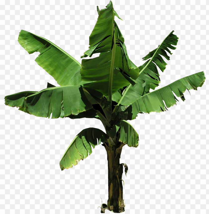 free PNG lantain banana tree PNG image with transparent background PNG images transparent