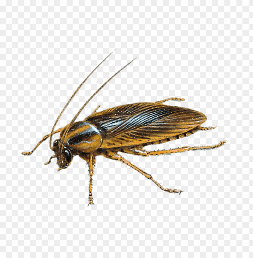 free PNG Download large cockroach drawing png images background PNG images transparent