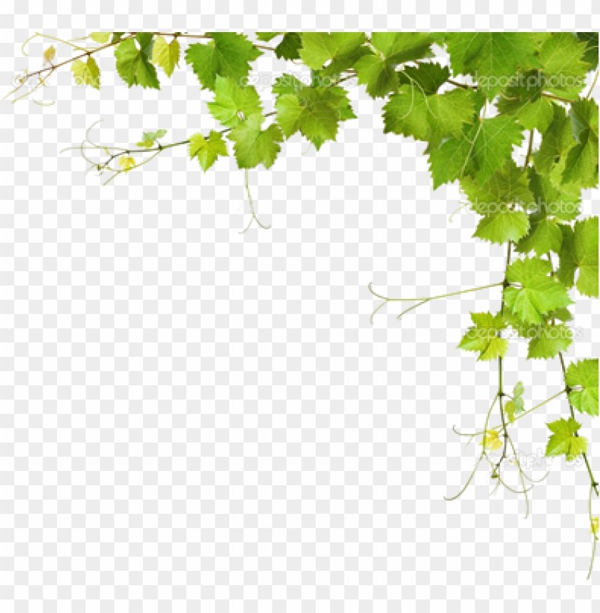 Leaf Vine Png Download Grapes Leaves Png Image With Transparent Background Toppng