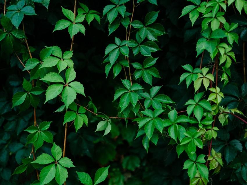 free PNG leaves, plant, green, grapes, vine background PNG images transparent