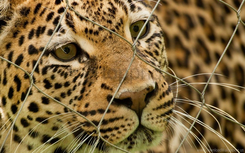 free PNG leopard, mesh, predator, spotted wallpaper background best stock photos PNG images transparent