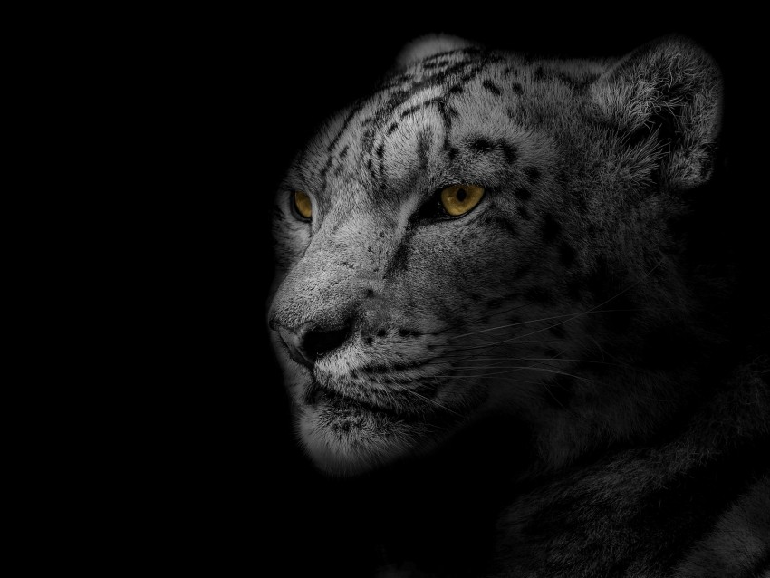 free PNG leopard, muzzle, predator, big cat, spotted, bw background PNG images transparent