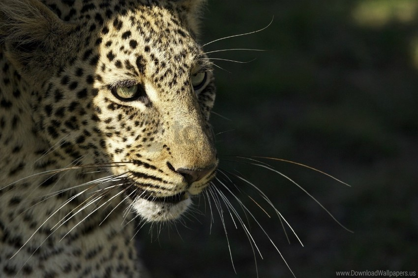 free PNG leopard, muzzle, predator, whiskers, wild cat wallpaper background best stock photos PNG images transparent